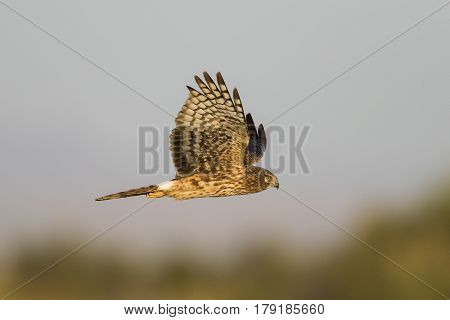 Northern Harrier In Flight - Salton Sea, California