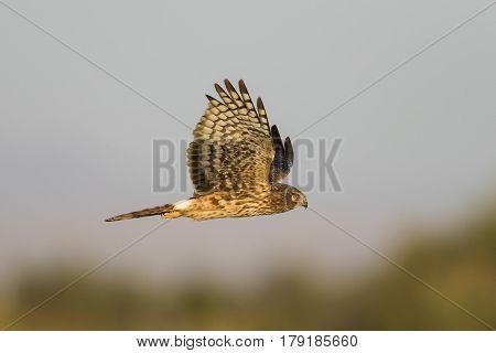 Northern Harrier In Flight - Salton Sea, California