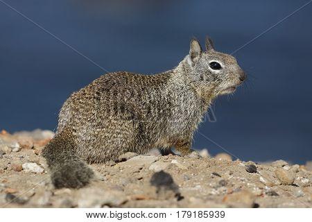 California Ground Squirrel - San Diego, California
