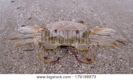 Beach crab camouflages into sand on an Australasian coast