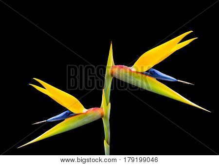 a beautiful bright bird of paradise flower on a black background