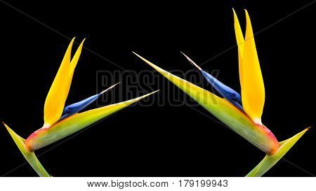 two bright colored bird of paradise flowers on a black background