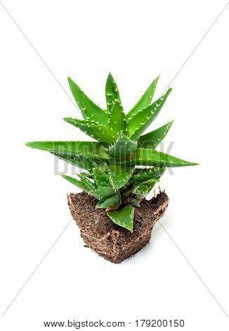 Aloe vera isolated on a white background