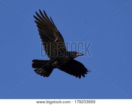 Rook (Corvus frugilegus) in flight with blue skies in the background