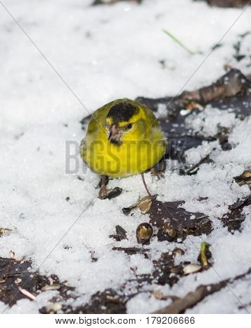 Male of Eurasian Siskin Carduelis spinus on dirty ground with snow close-up portrait selective focus shallow DOF.
