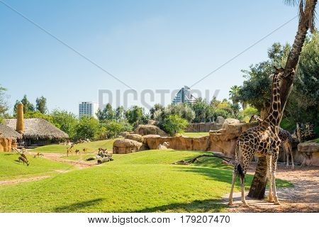 Large aviary with animals on green grass and eating giraffes in Valencia zoo on a hot sunny summer day with buildings in the background