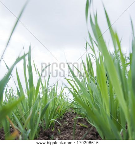 Young Wheat Sprouts