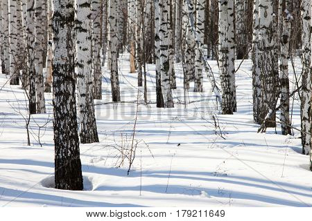 White Birches