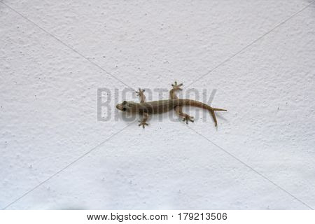 House lizard - gekco with v shaped tails ( 2 tails or twin tails ) on the white wall