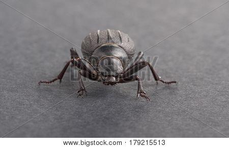 macro shot of dor-beetle on black background
