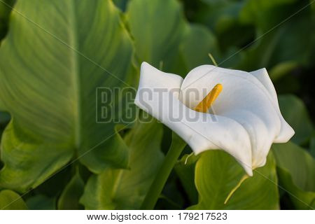 White calla flower in the greenhouse with green leafs in the background.