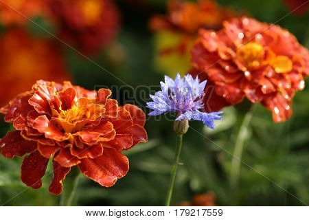 Marigold And Cornflower