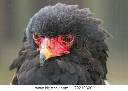 photo portrait of an alert Bateleur Eagle