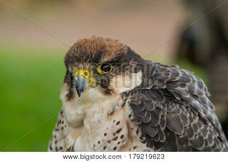 photo portrait of an alert Peregrine Falcon