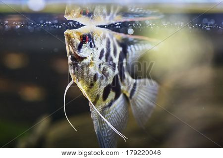 Freshwater angelfish or Marbled Angelfish that has a black white and yellow marbled pattern. Selective focus and dramatic lighting