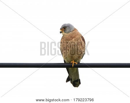 Lesser kestrel (Falco naumanni) sitting on a wire isolated on a white background