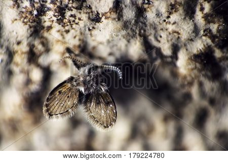 Moth fly or Drain fly on humid wall, extreme close-up with high magnification  and  selective focus and dramatic lighting