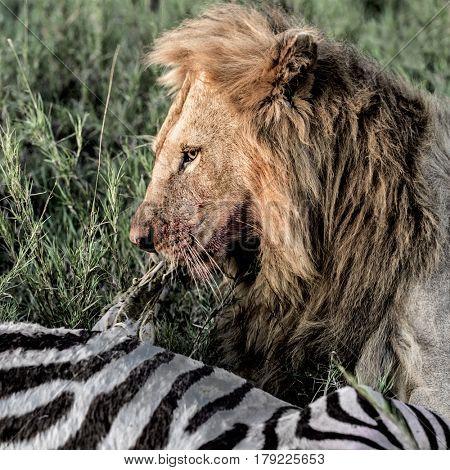 Lion eating zebra in Serengeti National Park