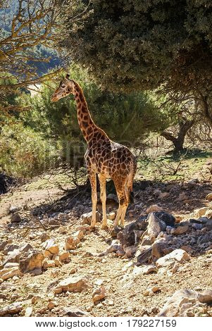 Scenic view of giraffe on a rocky slope