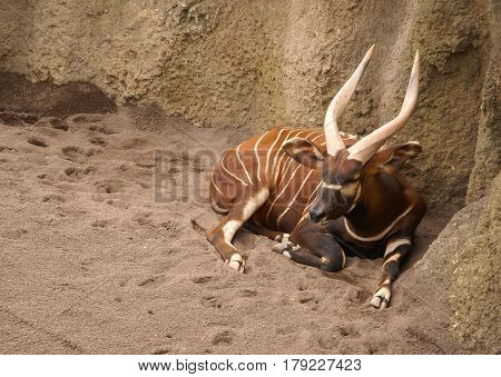 View of a striped antelope with long horns