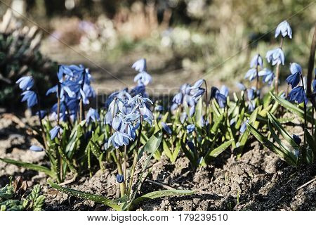 Opened Scilla flowers during spring in Poland