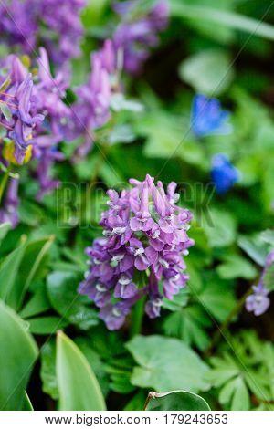 Field Of  Violet (hollowroot, Corydalis Cava) Spring Flowers.