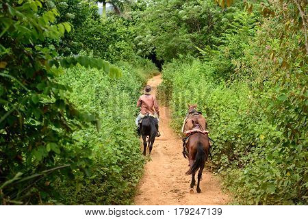 The Cuban cowboy is riding on horseback along roadless tracts in the Vinales valley. Valley de Vinales Cuba Pinar del Rio province