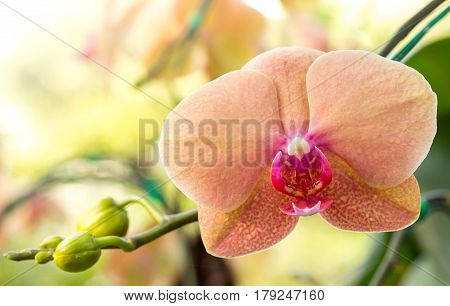 Phalaenopsis orchid flower blooming in the garden
