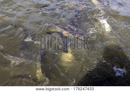 Bangkok, Thailand - December 15, 2014: Feeding Huge Som The Chao Phraya River In Bangkok, Thailand
