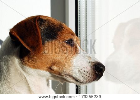 Dog Jack Russell Terrier looking on the window. Dog watch over world through the window. Sad dog. Autumn melancholy. Dog is home alone and bored