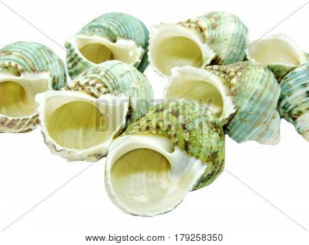 green sea shells turbo isolated on white background