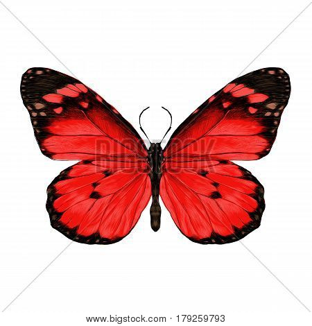 butterfly with open wings top view the symmetrical drawing graphics sketch vector color image red wings with black pattern on the edges