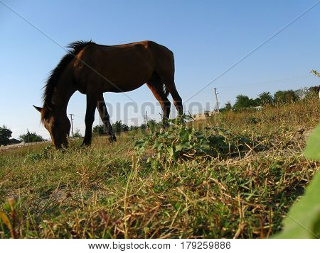 Beautiful horse pasturing on the land; Brown horse