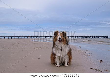 Shetland Sheepdog having happy walkies on an Australian beach Jetty behind in horizon