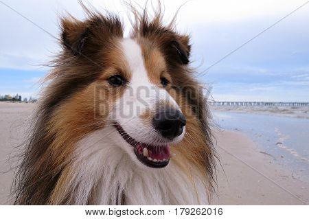 Shetland Sheepdog having happy walkies on an Australian beach close-up face