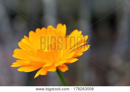 Macro shot of an English marigold. Nature photography of an orange marigold with grey background