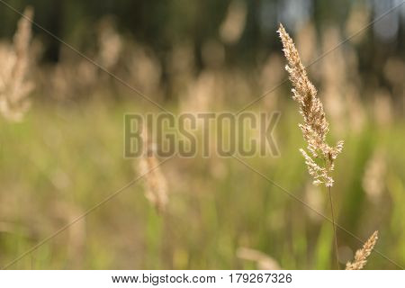 Spikelets against the background of a green field. Focus on the spikelet