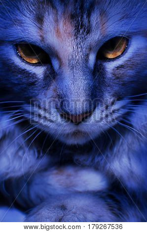 Close-up portrait of a silver tabby Maine Coon kitten girl face and fearsome golden eyes in dark blue lighting.