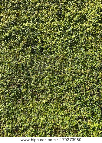 A building wall covered completely in ivy