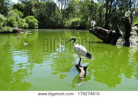Ibis reflection on water. Wetland wet lands birds Australia pond dam water.