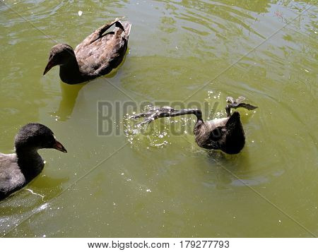 Upside down baby water hen searching for food. Wetland wet lands birds Australia pond dam water.