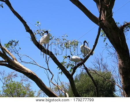 Ibis birds up a tree. Against a blue sky. Wetland wet lands birds Australia