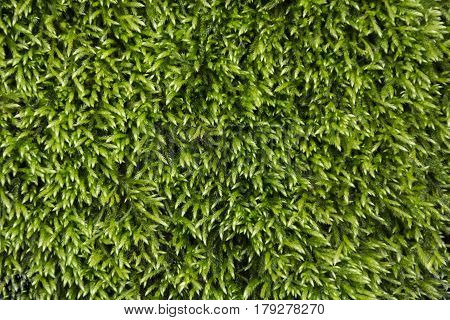Close-up of bright green moss in the spring season