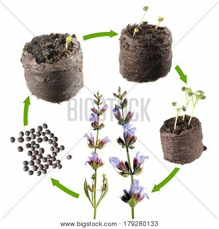 Stages of growth of Common sage (Salvia officinalis) from seed to a flowering plant. Life cycle plant