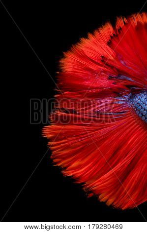Abstract fine art of moving fish tail of Betta fish or Siamese fighting fish isolated on black background.