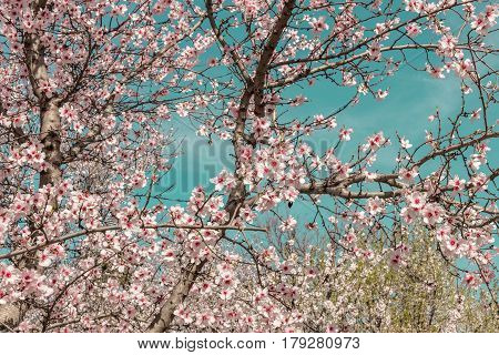 Almond trees in bloom in the Retiro park in Madrid, Spain