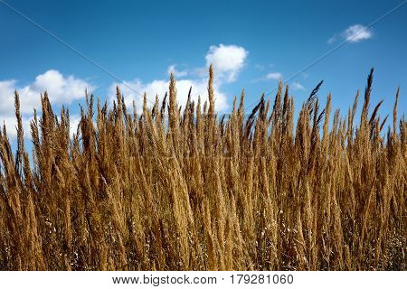 Yellow stalks of wheat in the foreground blue background of sky and clouds.
