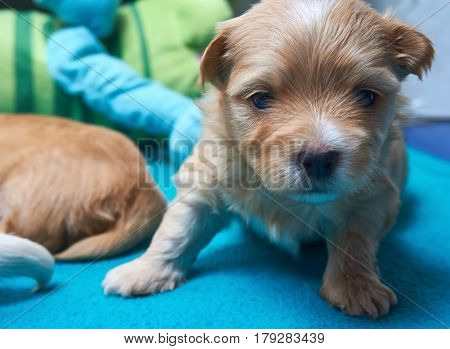 Tired, small Havaneser puppy looks into the camera