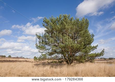 Pine tree on the heath in Elspeet in the Netherlands.