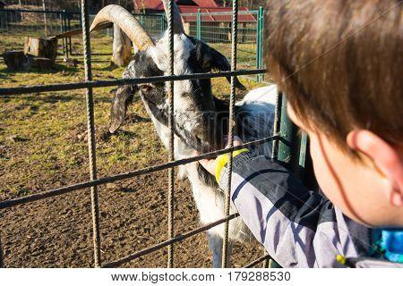 Boy feeding goat. Goat looking into the lens. Goat farm.